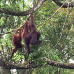 【シンガポール 家族旅行記#2】シンガポール動物園のオランウータン